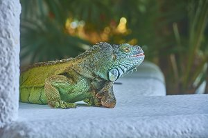 Green Iguana of the Pacific #4