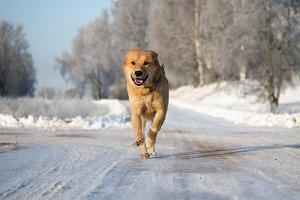 Big dog running on a snowy road. Dog