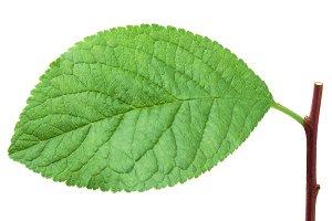 Plum leaf isolated on white