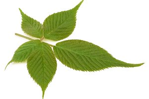 Young blackberry leaf isolated