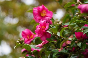 camellias in the park