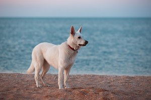 White siberian husky on the beach at