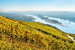 Vineyards of Rudesheim in the Rhine