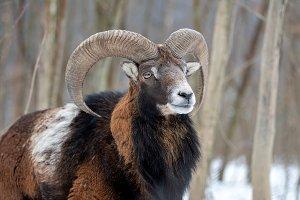 Winter portrait of big mouflon anima
