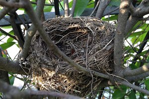 Bird Nest within a Hedge
