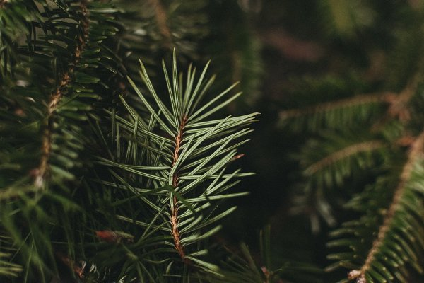 Nature Stock Photos: Melanie Helena - Winter Evergreen