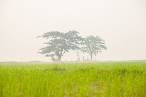 Trees in rice fields