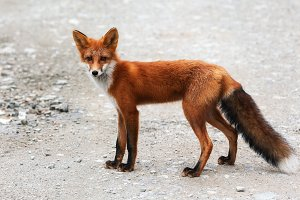 Wild red fox with beautiful skin