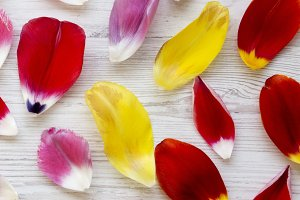 Colorful petals of tulips on white