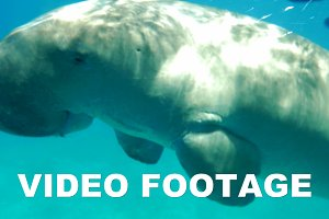 Sea-cow or Dugon swimming undersea