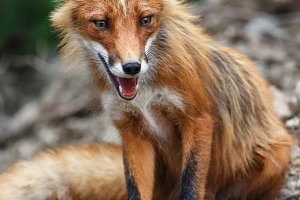 Beautiful wild red fox