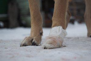 The dog's paw is bandaged. Winter