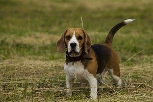 Beagle dogs.