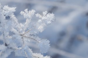 Icy flowers. Frost, snow on plants