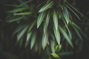 Green leaves of Nerium Olenader