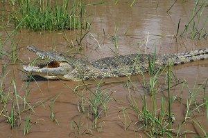 The yawning Nile crocodile in Chamo