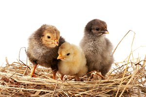 three baby chicken in the straw nest