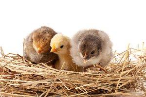 three baby chicken in the straw nest