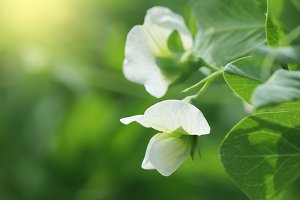 Green Pea plant with white flower in