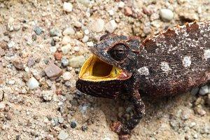 Hunting Chameleon, Namib desert, Nam