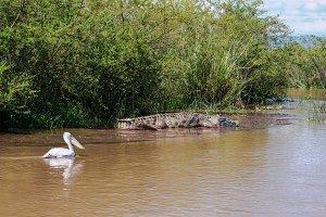 Nile crocodile White pelican Chamo l