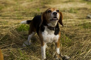 Barking dog breed Beagle.