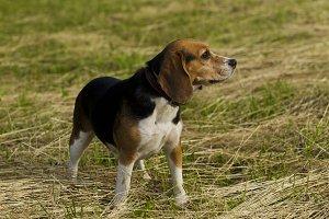 Barking dog breed Beagle.