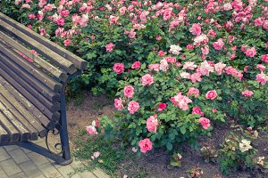Roses bed and garden bench