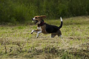 Running beagle dogs.