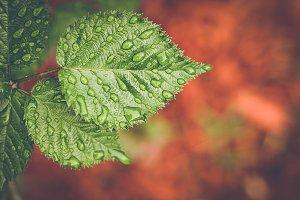 Raspberry Leaf Background