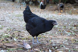 Black chicken grazes in the meadow