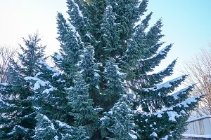 Snow on leaf of Christmas tree
