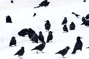 flock of black birds walks over