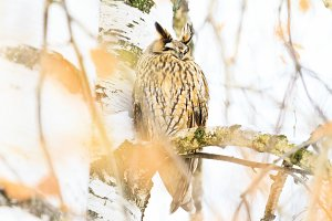 owl with ears sleeping sitting on a