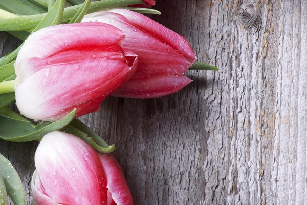 Holiday Stock Photos - Spring Magenta Tulips