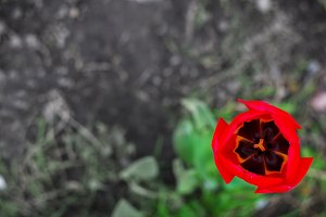 One tulip in the middle of a green field