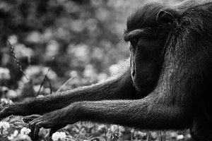 Crested black macaque