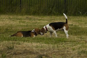 The meeting of two Beagle dogs.