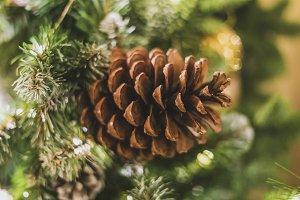 close up pine cone tree on the chris