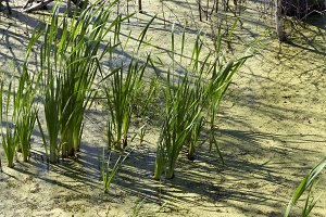 Swamp sedge