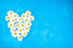 Chrysanthemums on blue background