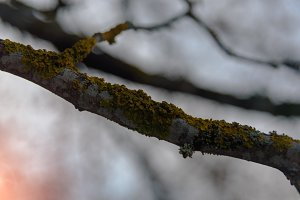 Branch covered in moss lichen sunset