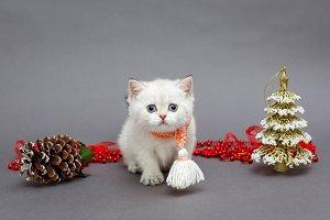 White British kitten in red scarf