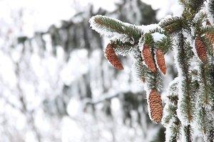 beautiful winter background, pine