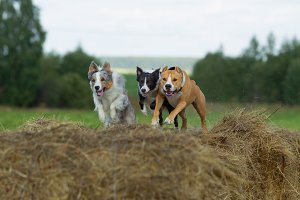 Dogs in the hay. Border Collie and S