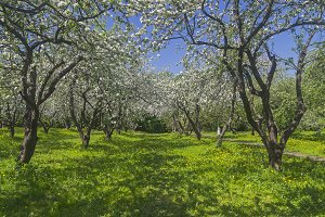 Old flowering apple orchard