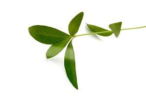 Green alone leaf on white background