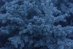 Frozen snowy evergreen pine branches