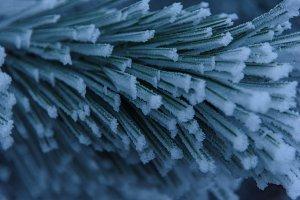 Frozen pine needles on branch close
