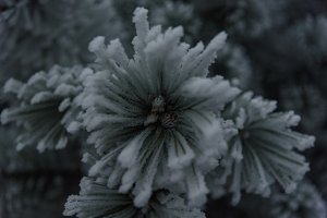 Snowy pine branch with cones closeup
